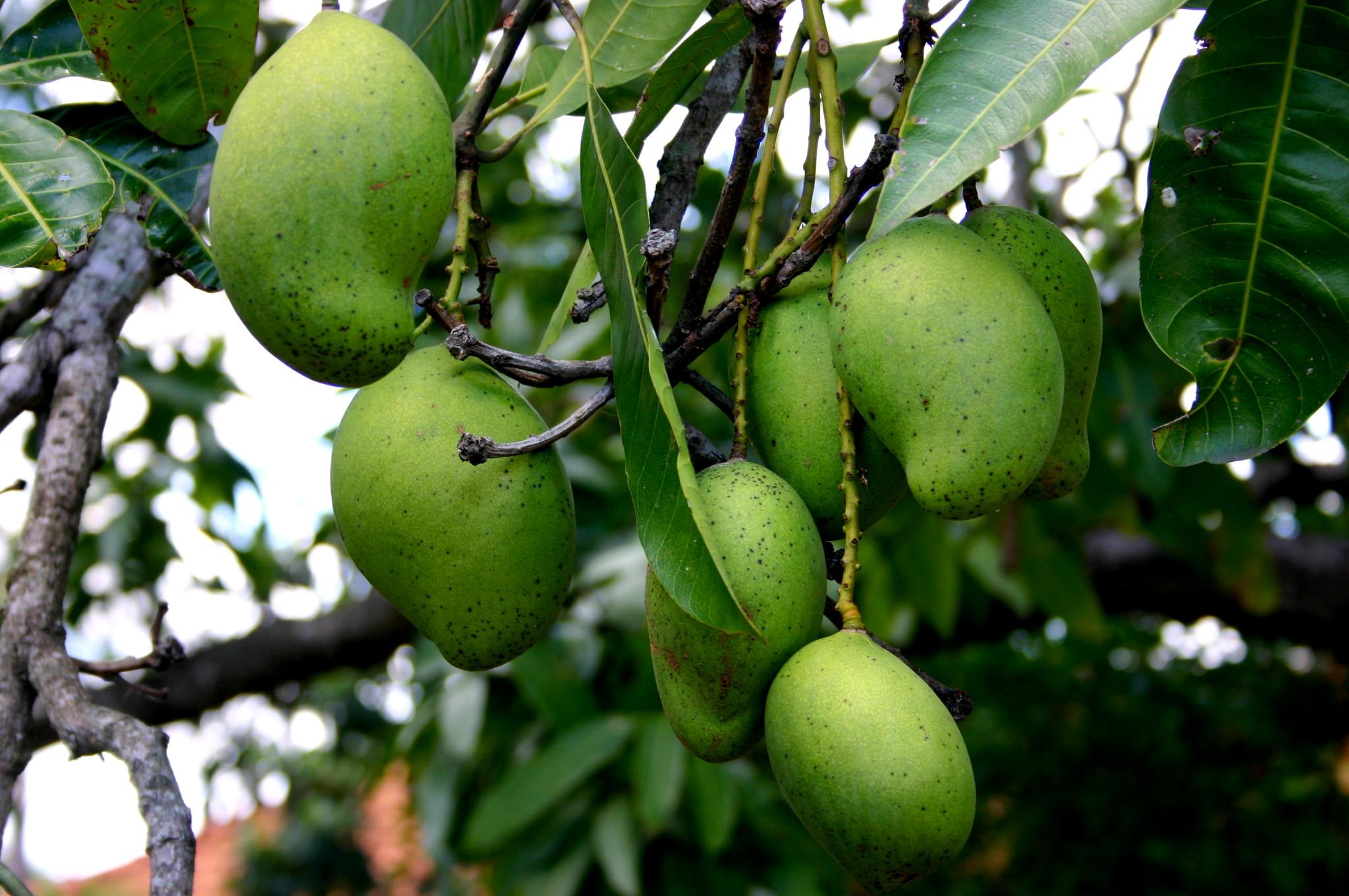 Green Mango Tree Febru...