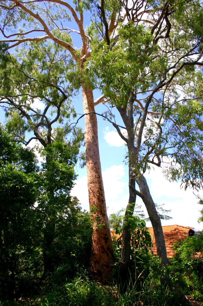 tall redgum