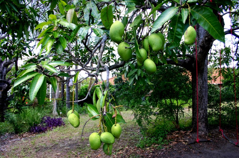 garden laden mango tree